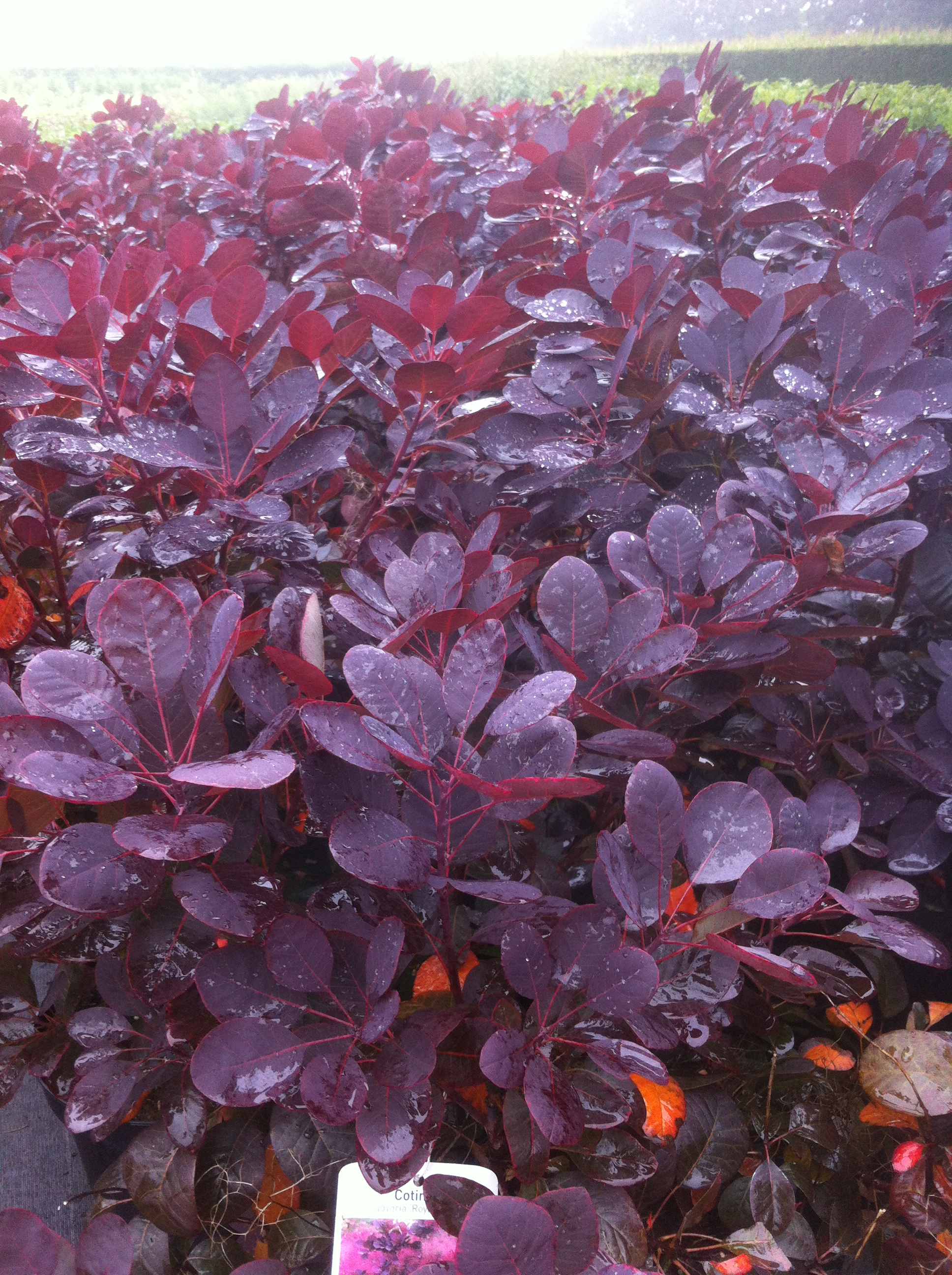 pruikenboom ( Cotinus coggygria 'Royal Purple) kopen en ...