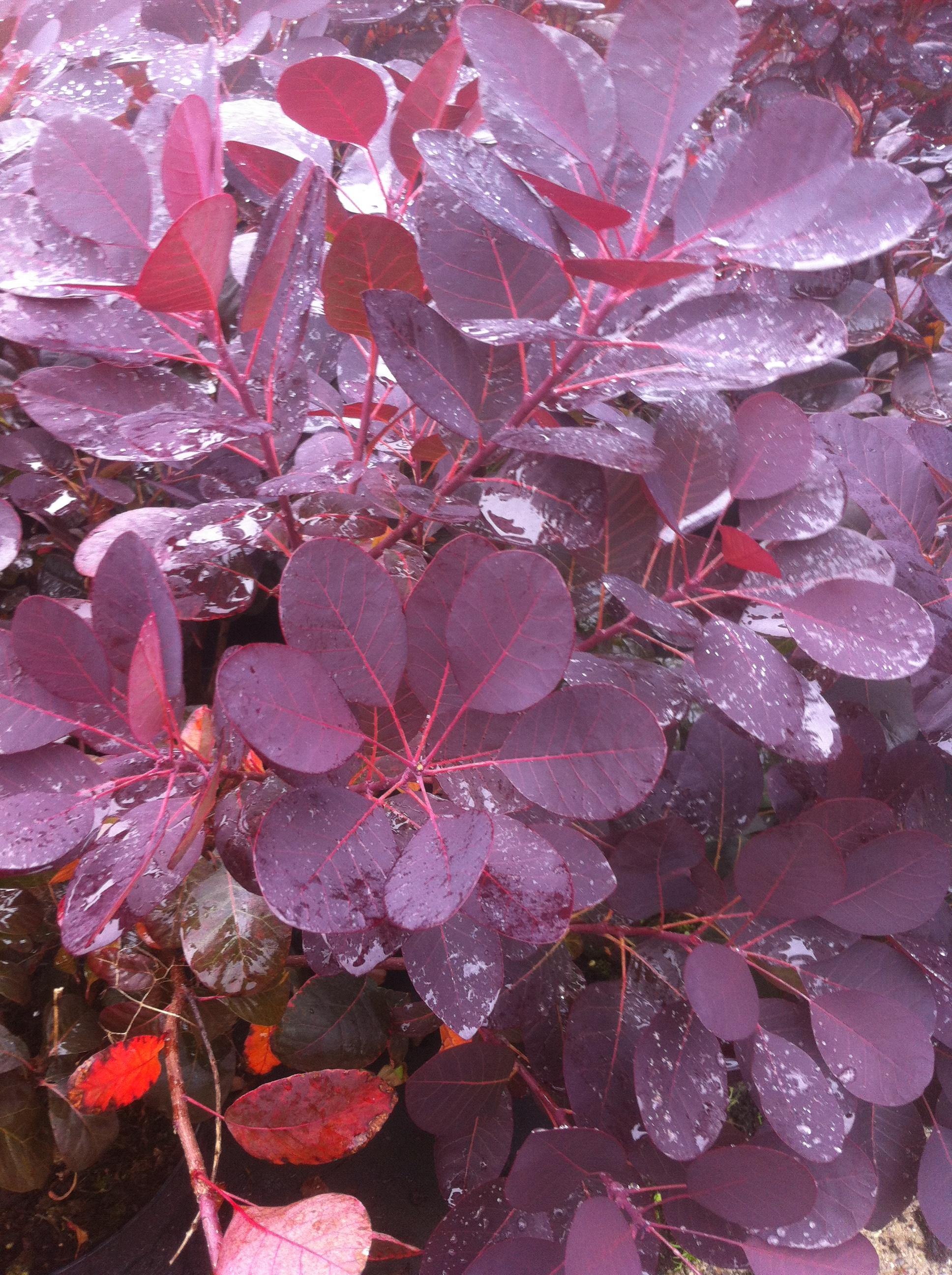 pruikenboom cotinus coggygria 39 royal purple kopen en. Black Bedroom Furniture Sets. Home Design Ideas