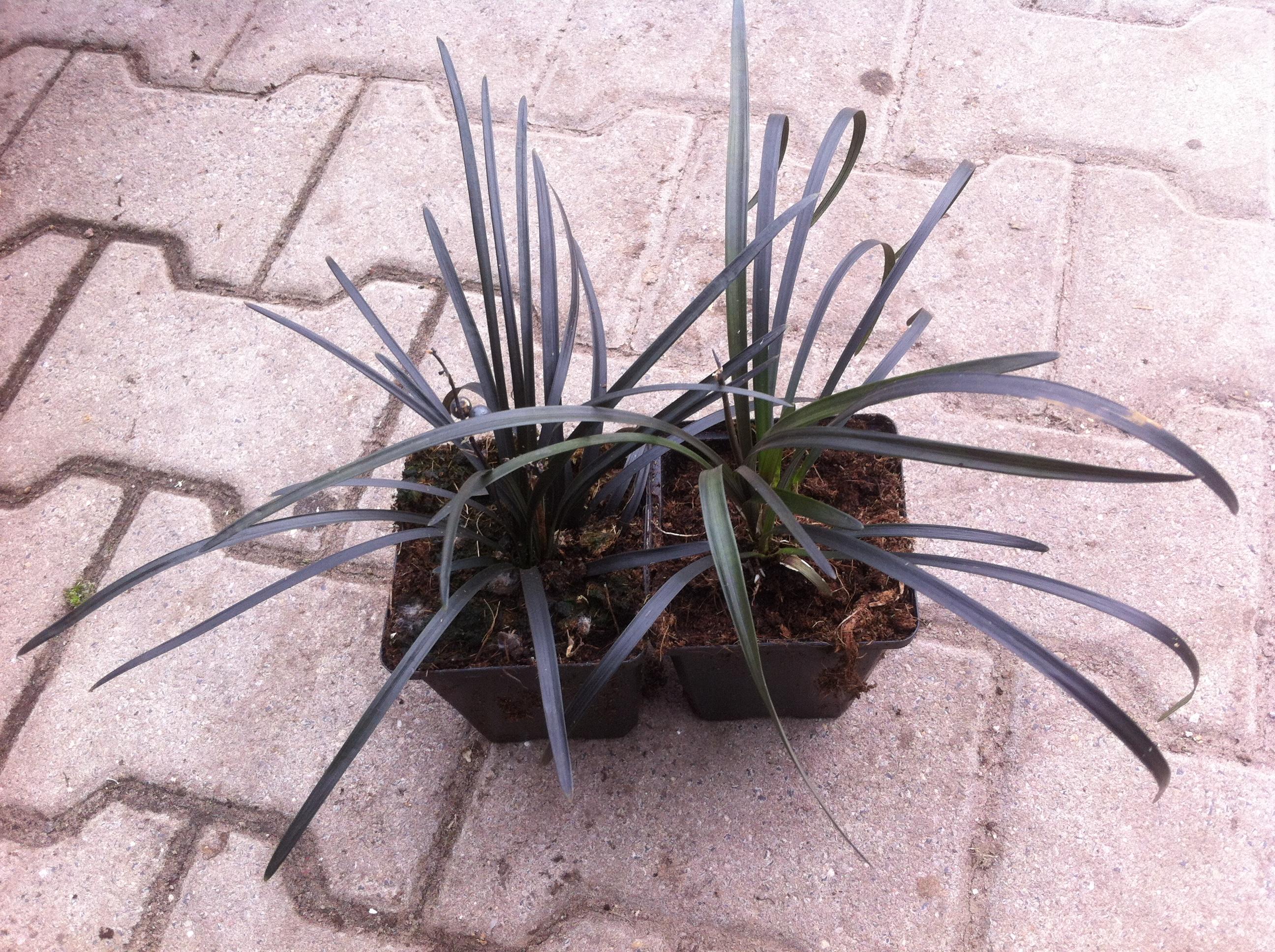plant_ophiopogon_planiscapus_niger_1.jpg